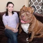 "7 Things You Need to Know About ""Hulk"" The Biggest Pitbull"