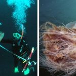 7 Facts On the Lion's Mane: The Biggest Jellyfish