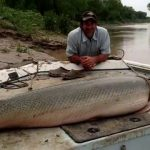 Unbelievable! But These 10 Biggest Alligator Gars Exist!